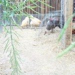 Moveable Chicken Tunnel