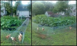 DIY chicken tunnel system makes chickens do the gardening