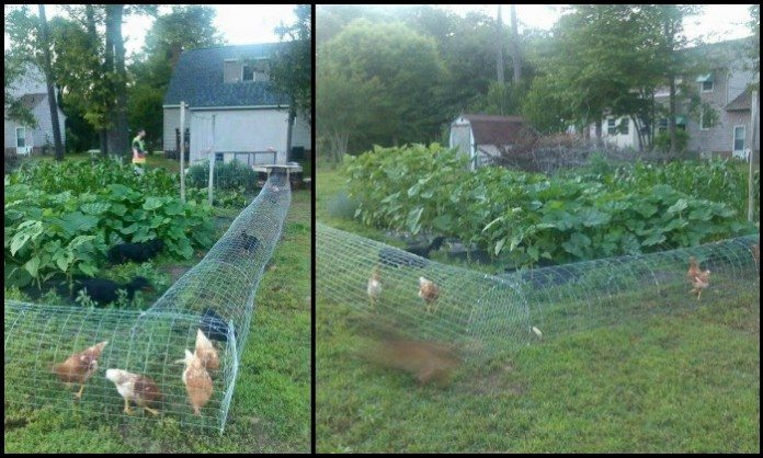 Moveable Chicken Tunnel Main Image