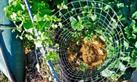 How to grow potatoes vertically using fencing wire