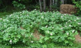 Grow potatoes with a hay bale garden