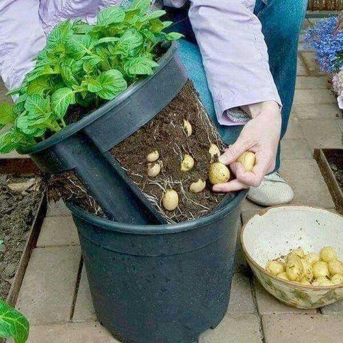No-Dig Potato Buckets