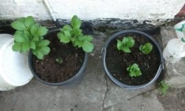 Growing potatoes in buckets the no-dig way