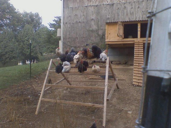 Build A Jungle Gym For Your Backyard Chickens Diy