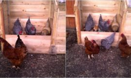 Composting with Chickens