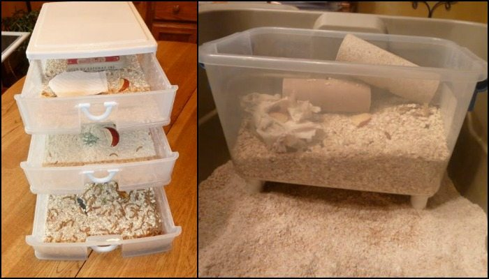 How to Raise Mealworms for Your Chooks