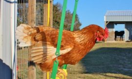 Make a Swing for Backyard Chicken