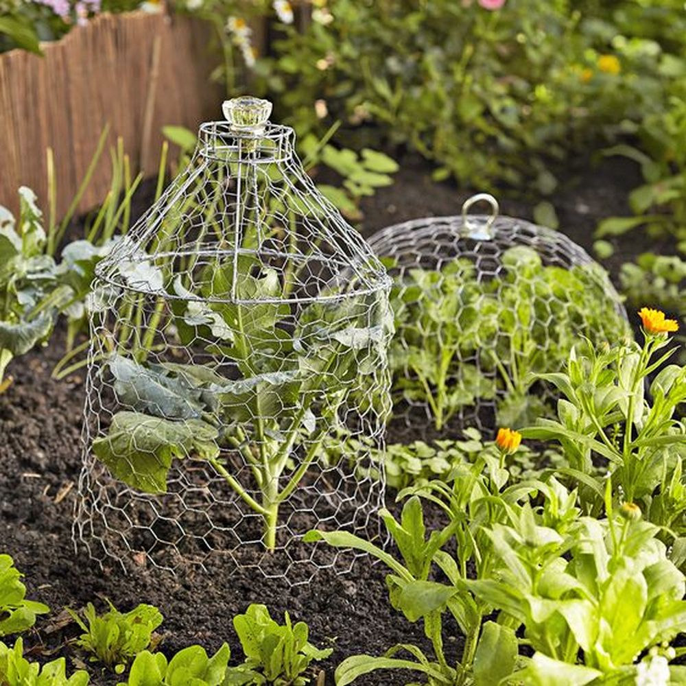 Garden cloches made out of chicken - inexpensive and easy to make.